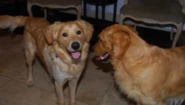Southern California Golden Retriever Rescue