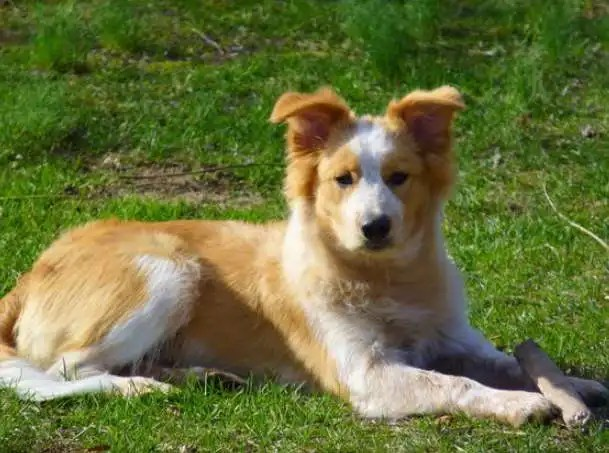 Border Collie Golden Retriever mix Puppies for Sale