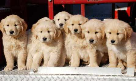 Buy Golden Retriever Puppies Near Me