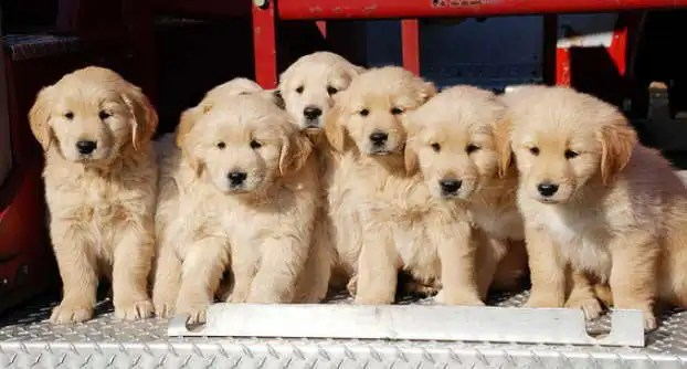 Buy Golden Retriever Puppies Near Me