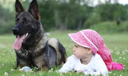 buying a trained german shepherd