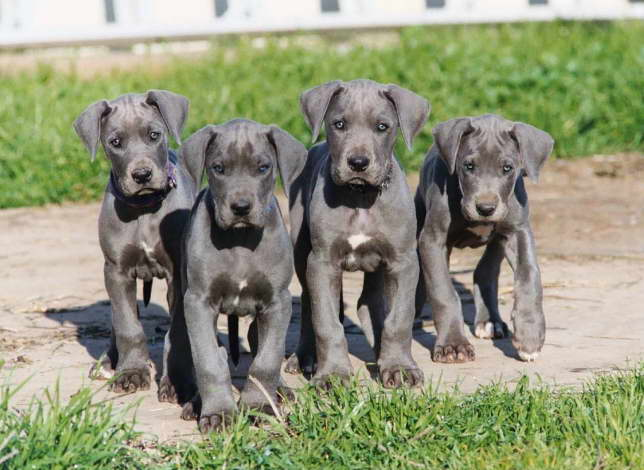 california great dane puppies