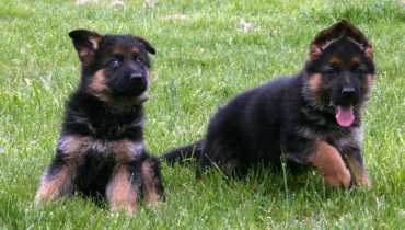 cost of purebred german shepherd puppy