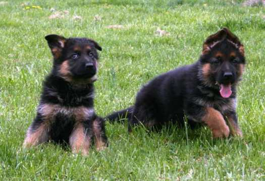 cost of purebred german shepherd puppy