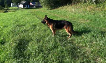 ct german shepherd breeders