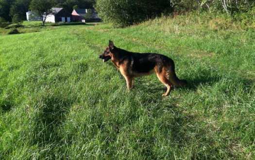 ct german shepherd breeders