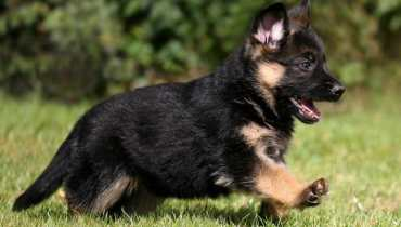 for sale german shepherd puppies