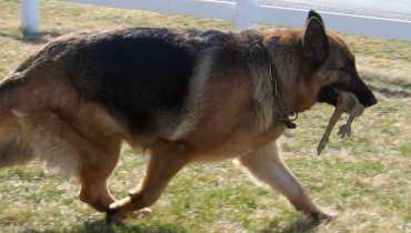 german shepherd puppies for sale in atlanta ga