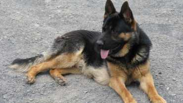 german shepherd puppies to adopt