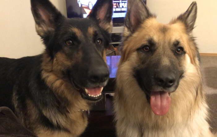 German Shepherd Rescue in Spokane WA