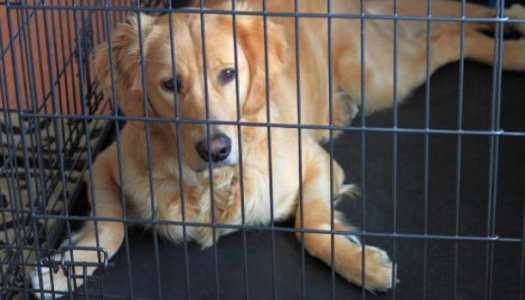 Golden Retriever Crate