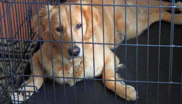 Find Golden Retriever Crate For Sale
