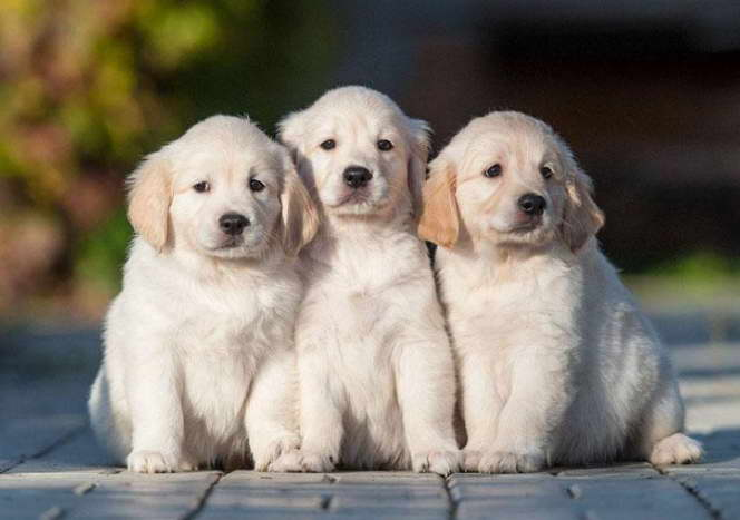 golden retriever names males