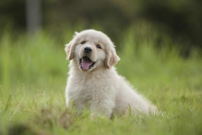 golden retriever puppies reno