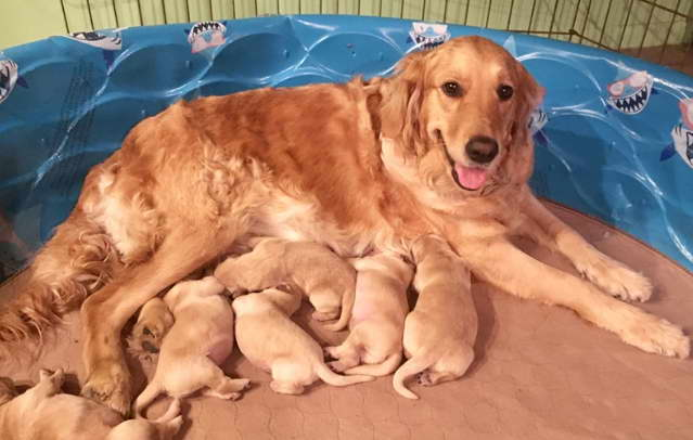 Golden Retriever Puppy Rescue PA
