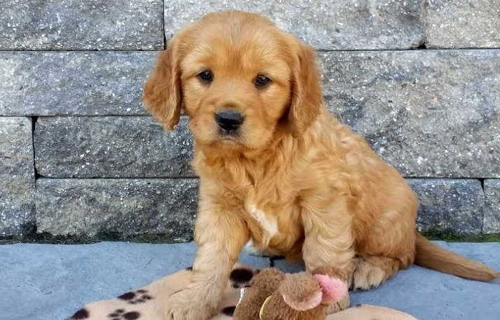 Golden Retriever Puppy that Stays Small
