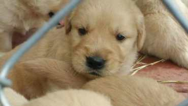 golden retriever rescue florida puppy