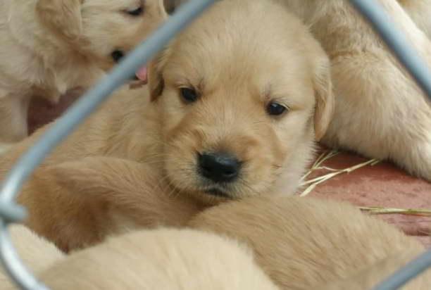 golden retriever rescue florida puppy