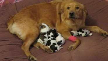 Golden Retriever Rescue North Carolina