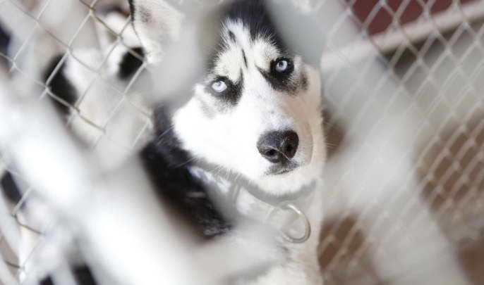 Husky For Adoption Near Me