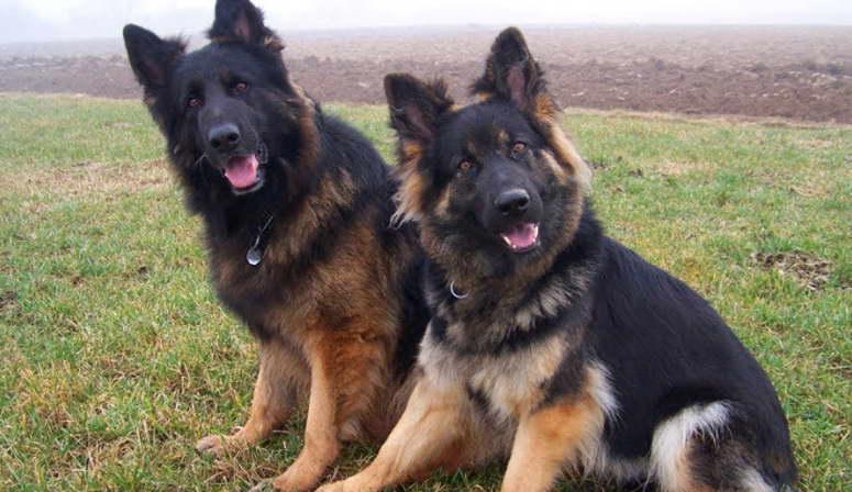 Places to buy German Shepherd Puppies   In New Zealand