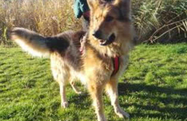 Rehome German Shepherd