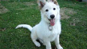 white german shepherd ohio