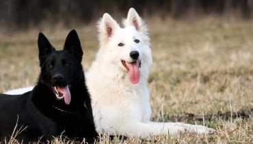 White German Shepherd Rescue California