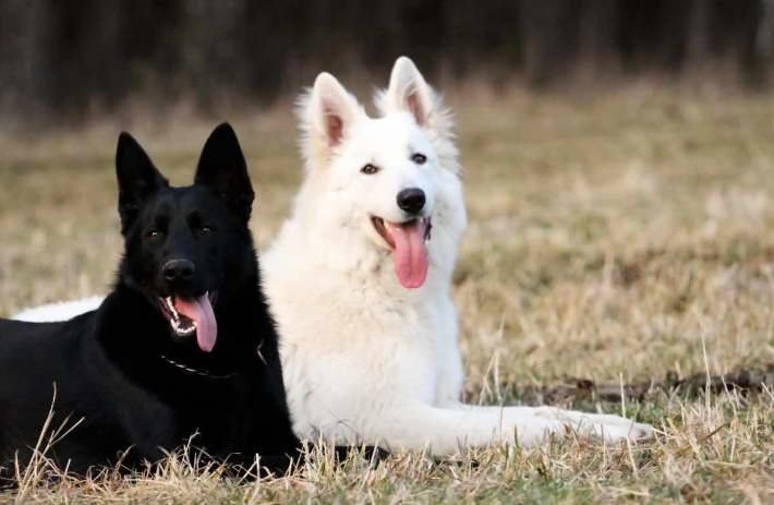 White German Shepherd Rescue California