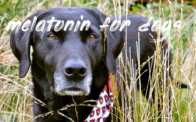 Melatonin For Dogs Best Pet