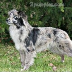 Pin on Dogs - Shepherd Dog Breeds