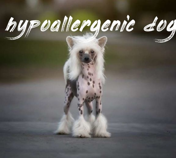 Hypoallergenic Dogs Don't Shed