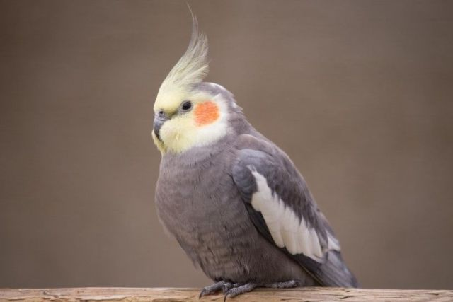 Training your Cockatiel for beginners