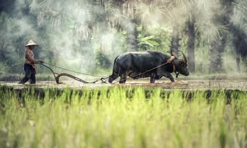 asiat-med-buffel