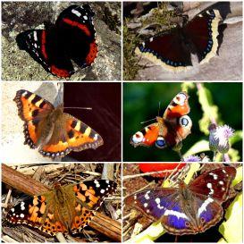 Ännu har jag inte sett några fjärilar, men dessa och några till flög utanför torpet förra sommaren.