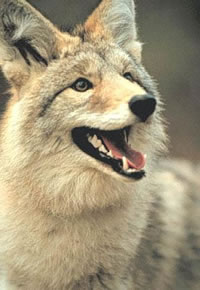 coyote1sm