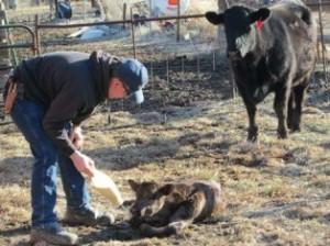 My Cowboy and calf and mama