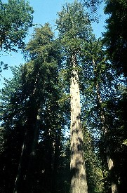 CaliforniaRedwoods-275