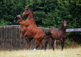 blood bay horses
