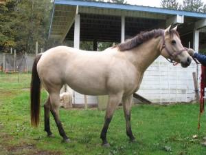 American Quarter Horse mare