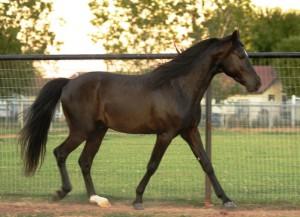 Missouri Fox Trotter Horse