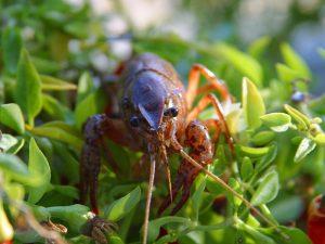 Texas crawfish