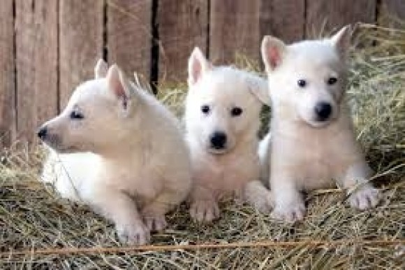 White-german-shepherd-husky-mix