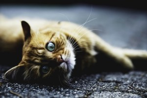 orange cat with green eyes laying down