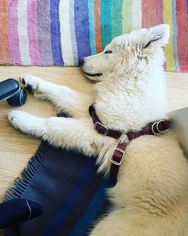 What's the most interesting thing that happened to you in April, Petya? Well, I got hit by a fluffy Avalanche... She's demanding, adorable, and mine. #Sofia #Bulgaria #puppy #swissshepherd #dogsofinstagram