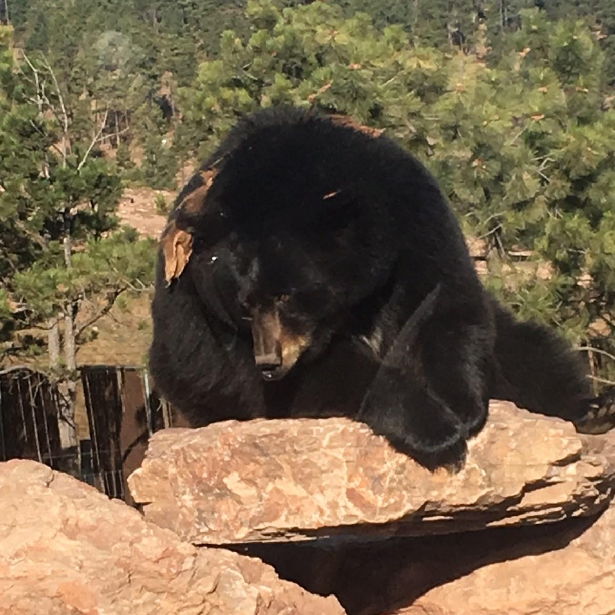 Black Bear at Bear Country USA South Dakota