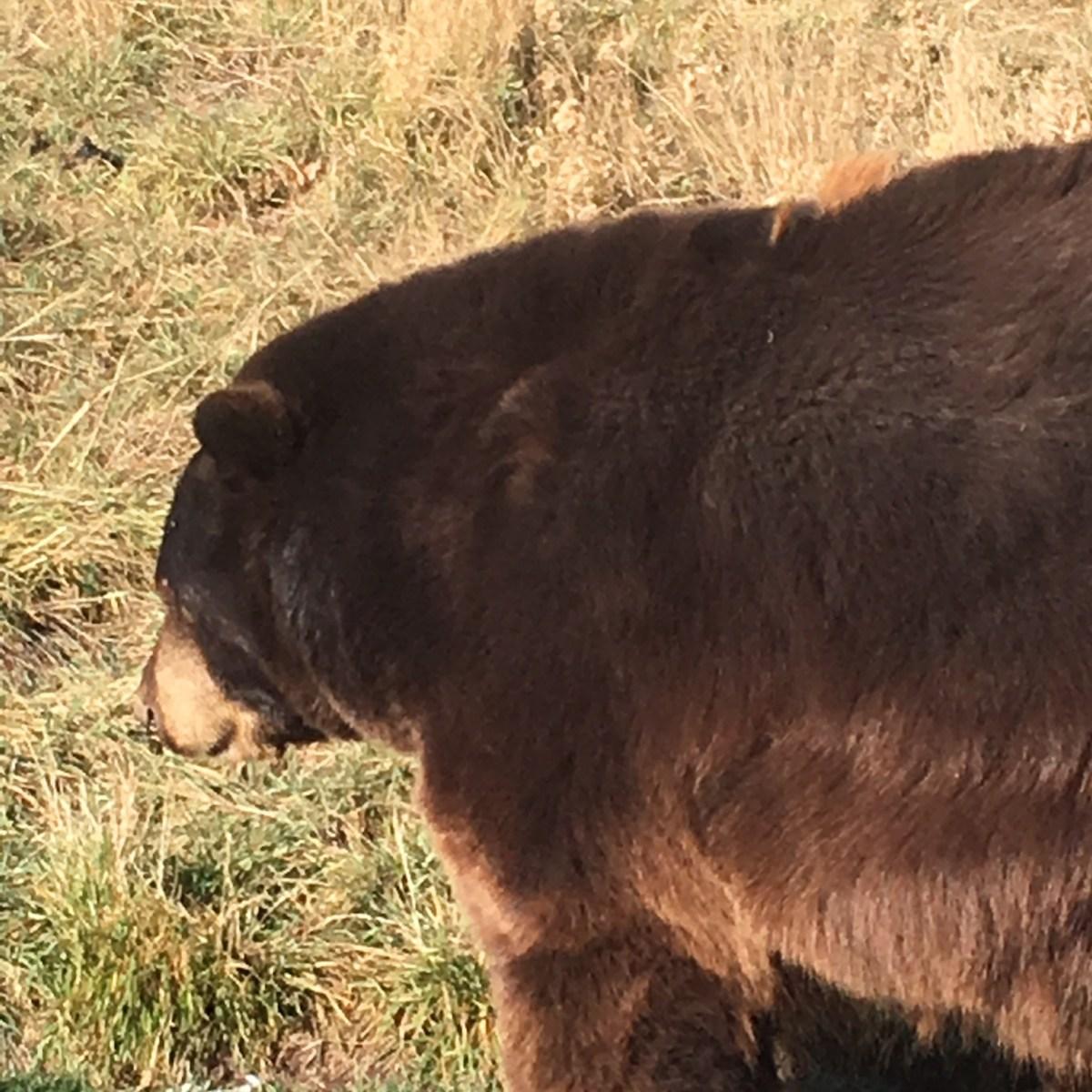Bear Crossing the Road at Bear Country USA South Dakota