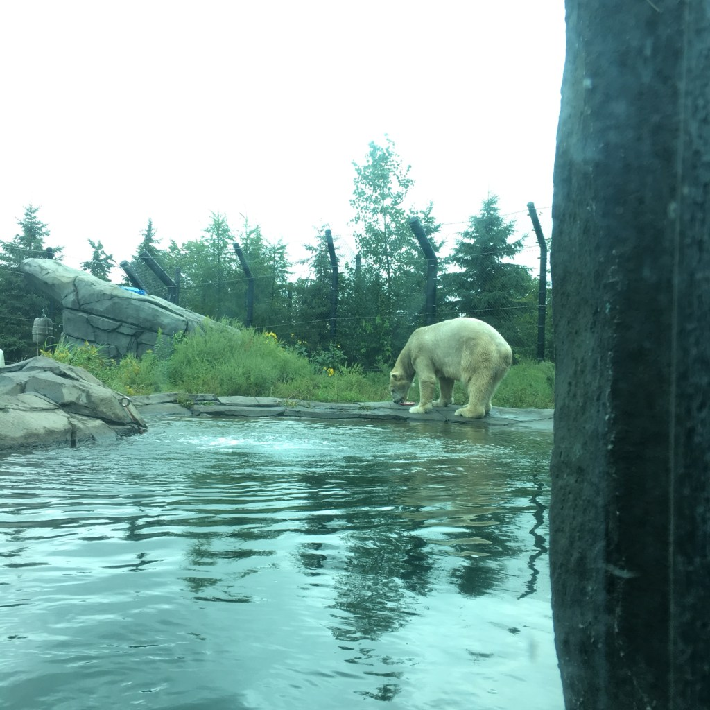 Polar Bears at Como Zoo