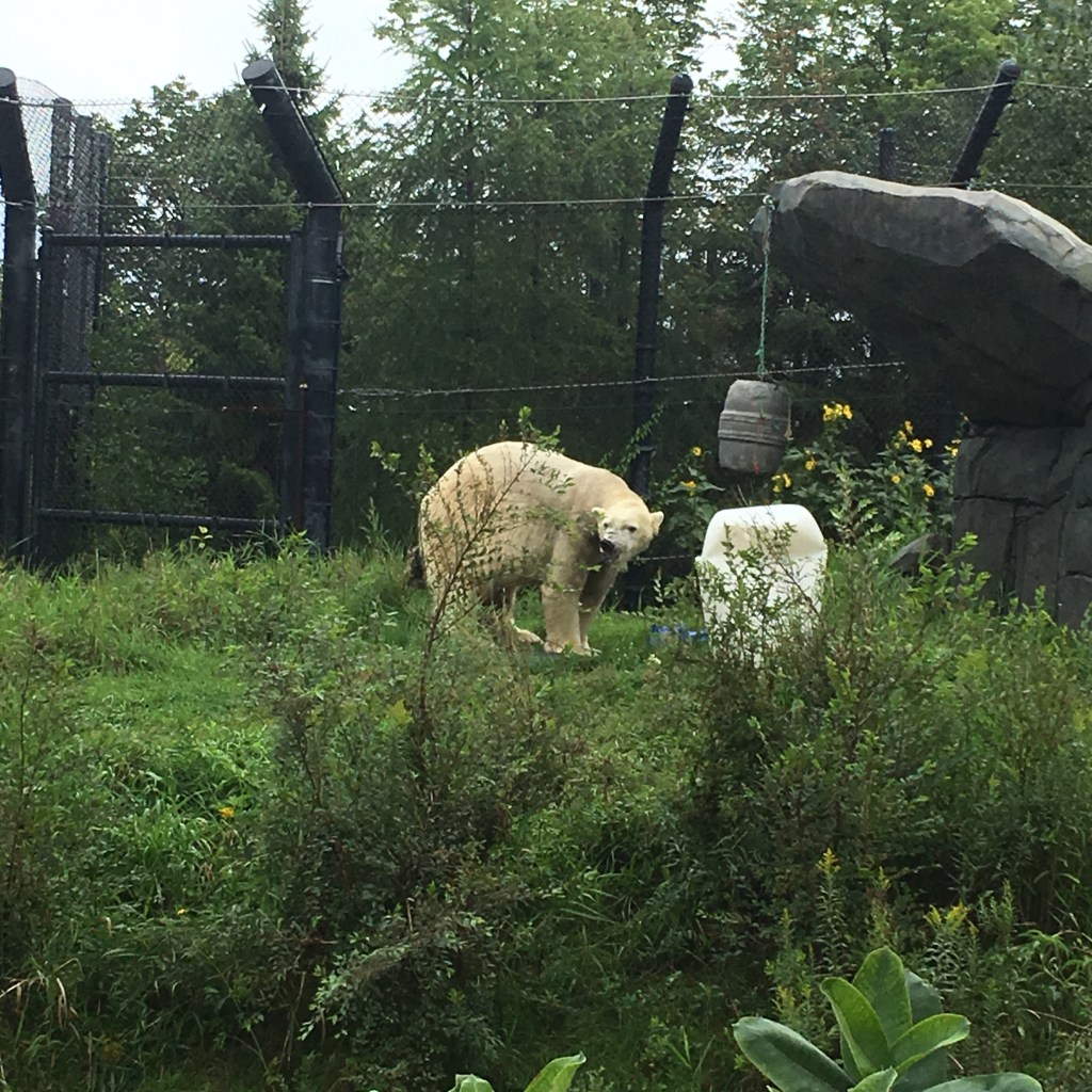Polar Bears Enjoying Enrichment at Como Zoo