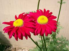 Tanacetum coccineum Pyrethrum, Pyrethum daisy, Persian Insect Flower, Painted Daisy